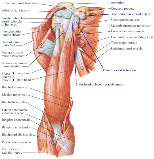 Case 7e – MRI axial shoulder (5) – Brian\'s Radiology Learning Diary